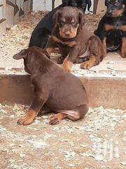 Solid Doberman Puppys Available Now Male And Female | Dogs & Puppies for sale in Greater Accra, Adenta Municipal