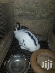 Big Healthy Live Rabbit | Other Animals for sale in Greater Accra, Adenta Municipal