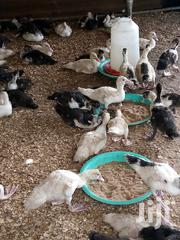 Ducks Two Weeks Old | Livestock & Poultry for sale in Greater Accra, Accra Metropolitan