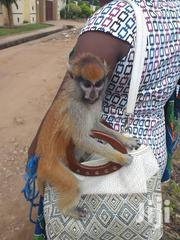 Nice Monkey For Sale | Other Animals for sale in Greater Accra, Achimota