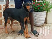Doberman X Rottweiler Security Female | Dogs & Puppies for sale in Greater Accra, Ga West Municipal