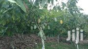 3 And Half Acres Cocoa Farm For Sale | Land & Plots For Sale for sale in Eastern Region, East Akim Municipal
