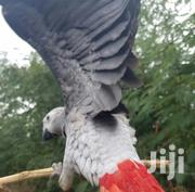 African Gray Parrot | Birds for sale in Greater Accra, Dzorwulu