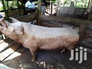 Pigs For Sale | Other Animals for sale in Volta Region, Hohoe Municipal
