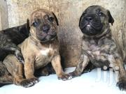 Boerboel Shepherd Mix | Dogs & Puppies for sale in Greater Accra, New Mamprobi