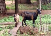 Live,Healthy And Affordable Goats For Sale🐐 | Other Animals for sale in Volta Region, Ho Municipal