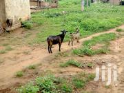 Live,Healthy And Well Nourished Goats At Affordable Prices | Livestock & Poultry for sale in Volta Region, Ho Municipal