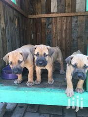 Baby Male Purebred Boerboel | Dogs & Puppies for sale in Greater Accra, Ledzokuku-Krowor