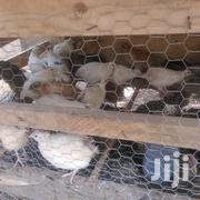 Coturnix Laying QUIAL BIRD | Livestock & Poultry for sale in Greater Accra, Kwashieman