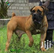 Adult Male Purebred Boerboel | Dogs & Puppies for sale in Western Region, Shama Ahanta East Metropolitan