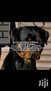 Baby Female Purebred Rottweiler | Dogs & Puppies for sale in Greater Accra, Tesano