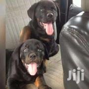 Pure Rottweiler Male 3months | Dogs & Puppies for sale in Greater Accra, Kwashieman