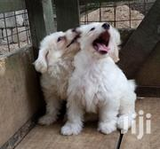 Baby Male Purebred Maltese | Dogs & Puppies for sale in Greater Accra, Dansoman