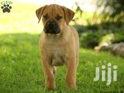 Baby Male Purebred Boerboel | Dogs & Puppies for sale in Greater Accra, Labadi-Aborm