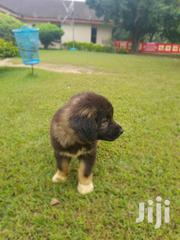 Baby Male Purebred Caucasian Shepherd Dog | Dogs & Puppies for sale in Brong Ahafo, Techiman Municipal