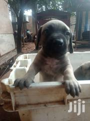 Young Female Purebred American English Coonhound | Dogs & Puppies for sale in Greater Accra, Adenta Municipal