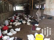 Organic Broilers For Sale | Livestock & Poultry for sale in Central Region, Effutu Municipal
