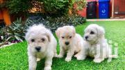 Baby Female Purebred Maltese | Dogs & Puppies for sale in Greater Accra, Tema Metropolitan