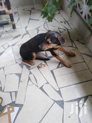 Young Male Mixed Breed | Dogs & Puppies for sale in Greater Accra, Achimota