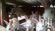 Healthy Live Young Rabbit for Sale | Other Animals for sale in Greater Accra, Adenta Municipal