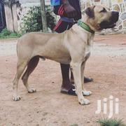 Male Boerboel Available For Stud Service | Dogs & Puppies for sale in Greater Accra, Adenta Municipal