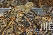 Four Weeks Old Quails | Livestock & Poultry for sale in Central Region, Awutu-Senya