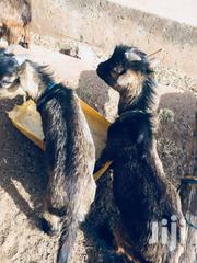 Goat For Sale At Affordable Cost | Livestock & Poultry for sale in Greater Accra, Odorkor