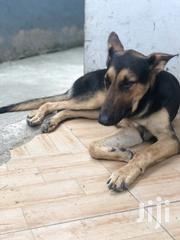 Adult Male Purebred German Shepherd Dog | Dogs & Puppies for sale in Greater Accra, East Legon
