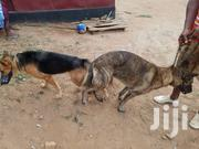 Adult Male Purebred German Shepherd Dog | Dogs & Puppies for sale in Greater Accra, Ga East Municipal
