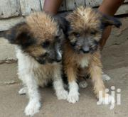 Baby Male Mixed Breed Maltese | Dogs & Puppies for sale in Greater Accra, Ga West Municipal
