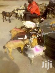 Goat For Sale | Livestock & Poultry for sale in Greater Accra, Accra Metropolitan
