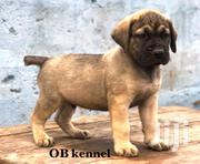 Baby Male Purebred Boerboel | Dogs & Puppies for sale in Greater Accra, Achimota