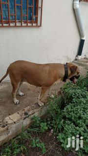 Female Dog | Dogs & Puppies for sale in Greater Accra, Agbogbloshie