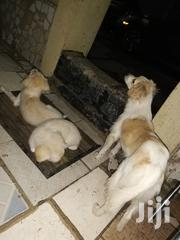 Young Female Mixed Breed Puggle | Dogs & Puppies for sale in Greater Accra, Achimota