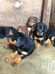 Baby Female Purebred Doberman Pinscher | Dogs & Puppies for sale in Greater Accra, Achimota