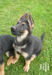 Baby Male Purebred German Shepherd Dog | Dogs & Puppies for sale in Greater Accra, Airport Residential Area