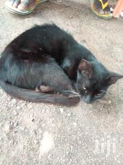 Young Female Mixed Breed | Cats & Kittens for sale in Greater Accra, Airport Residential Area
