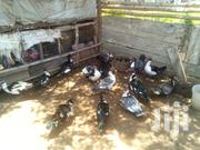 Matured And Healthy Muscovy | Livestock & Poultry for sale in Central Region, Gomoa East