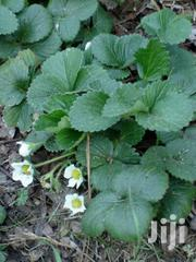 Strawberry Seedlings | Feeds, Supplements & Seeds for sale in Greater Accra, Ga West Municipal