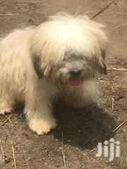 Adult Male Purebred Poodle | Dogs & Puppies for sale in Greater Accra, Accra Metropolitan