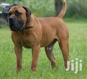 Adult Male Purebred Boerboel | Dogs & Puppies for sale in Greater Accra, Accra Metropolitan