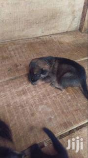 German Sherpherd Puppie Fr Sale | Dogs & Puppies for sale in Greater Accra, Adenta Municipal