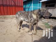 Young Female Purebred Caucasian Shepherd Dog | Dogs & Puppies for sale in Greater Accra, South Labadi