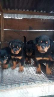 Solid Rottweiler Puppies For Sale | Dogs & Puppies for sale in Central Region, Awutu-Senya