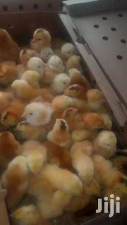 Chicks | Livestock & Poultry for sale in Greater Accra, Ashaiman Municipal
