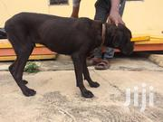 Adult Male Purebred Boerboel | Dogs & Puppies for sale in Ashanti, Afigya-Kwabre