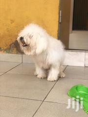 Young Female Purebred Maltese | Dogs & Puppies for sale in Greater Accra, Tema Metropolitan