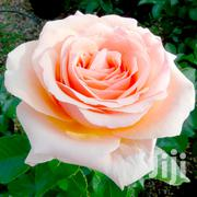 Rose Flower Seeds Mixed Color 100pcs | Feeds, Supplements & Seeds for sale in Greater Accra, Kwashieman