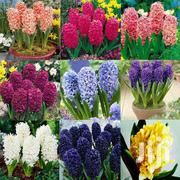 Hyacinth Flower Seeds | Feeds, Supplements & Seeds for sale in Greater Accra, Kwashieman