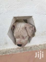American Bully   Dogs & Puppies for sale in Greater Accra, Ashaiman Municipal